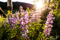 Summer Lupines at Sunset