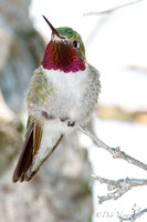 Bejeweled Broad-tailed Hummingbird