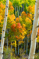 Glowing Aspens in the San Juans**